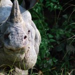 IndianOne-HornedRhino-Nepal