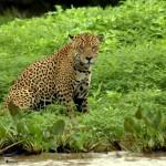 Jaguar-Brazil3