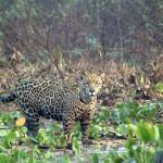 Jaguar-Brazil6
