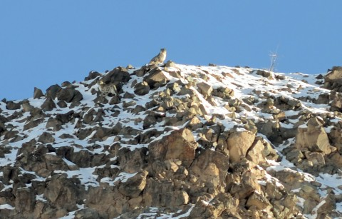 Snow Leopard Watching Holiday Trip Report – Royle Safaris