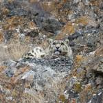 SnowLeopard-India2