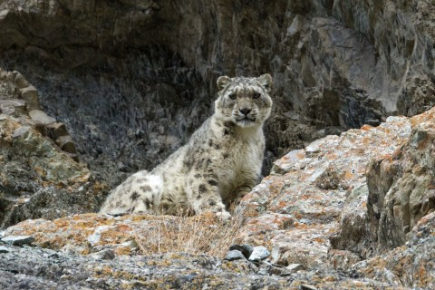 Snow Leopard Watching Holiday Trip Report – Royle Safaris (2)