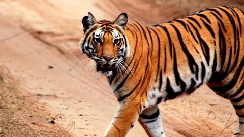 Tiger Safari of India (Satpura, Panna & Bandhavgarh) Trip Report – Royle Safaris