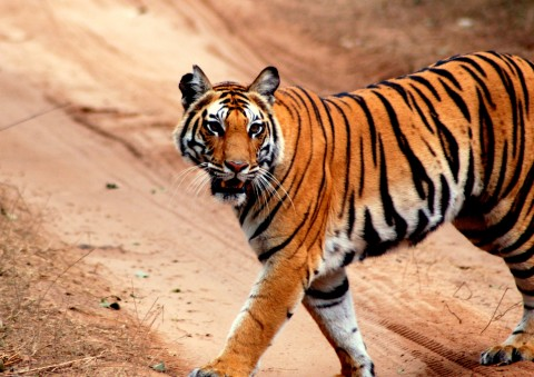 Tiger Safari of India (Satpura, Panna & Bandhavgarh) Trip Report – Royle Safaris