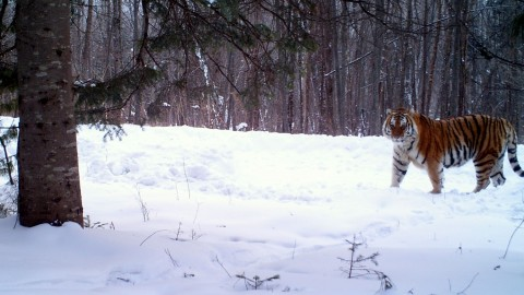 Siberian Tiger Tracking Tour to Russia – Royle Safaris