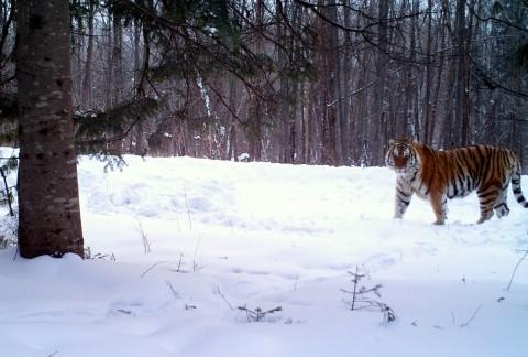 Siberian Tiger Tracking Tour to Russia – Royle Safaris