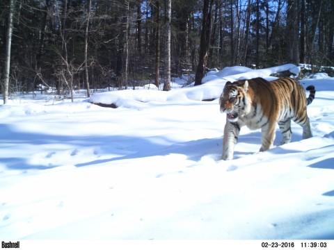 Siberian Tiger Tracking Tour to Russia – Royle Safaris (5)