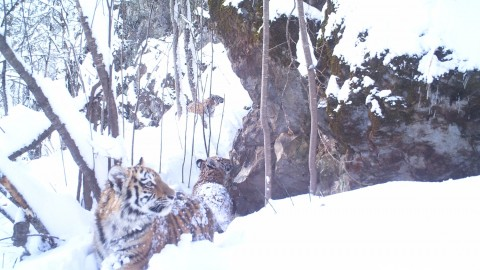 Siberian Tiger Tracking Tour to Russia – Royle Safaris (3)