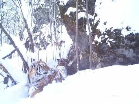 Siberian Tiger Tracking Tour to Russia – Royle Safaris (3)