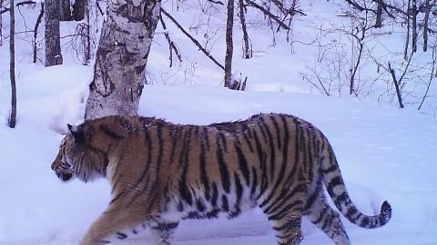 Siberian Tiger Tracking Tour to Russia – Royle Safaris (4)