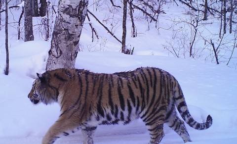 Siberian Tiger Tracking Tour to Russia – Royle Safaris (4)