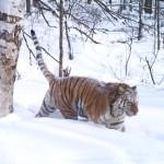 Tiger-Russia7