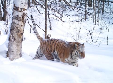Siberian Tiger Tracking Tour to Russia – Royle Safaris (2)
