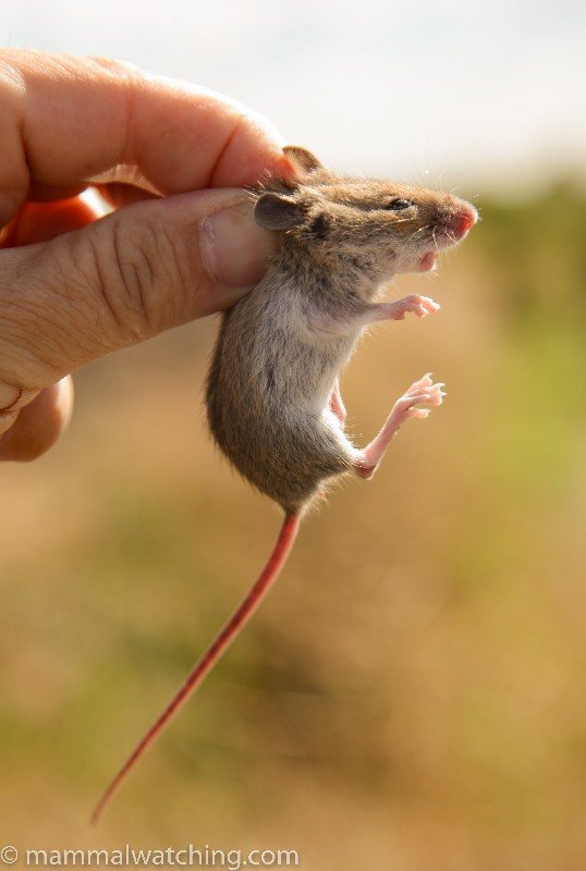 Steppe-Mouse-1