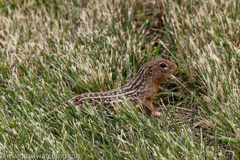 2012-Thirteen-lined-Ground-Squirrel