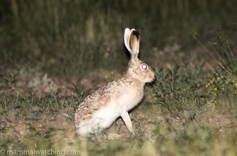 2012-White-sided-Jackrabbit