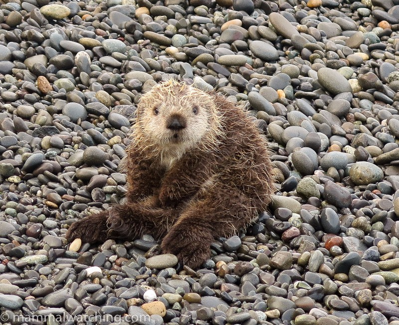 2015-Baby-Sea-Otter