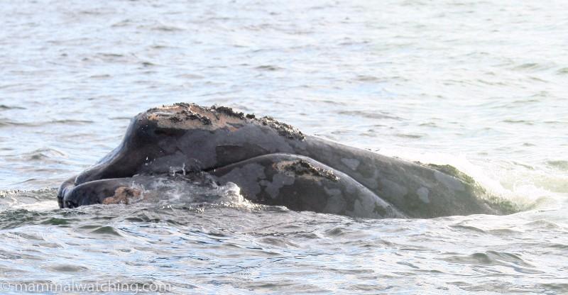2008-North-Atlantic-Right-Whale-1