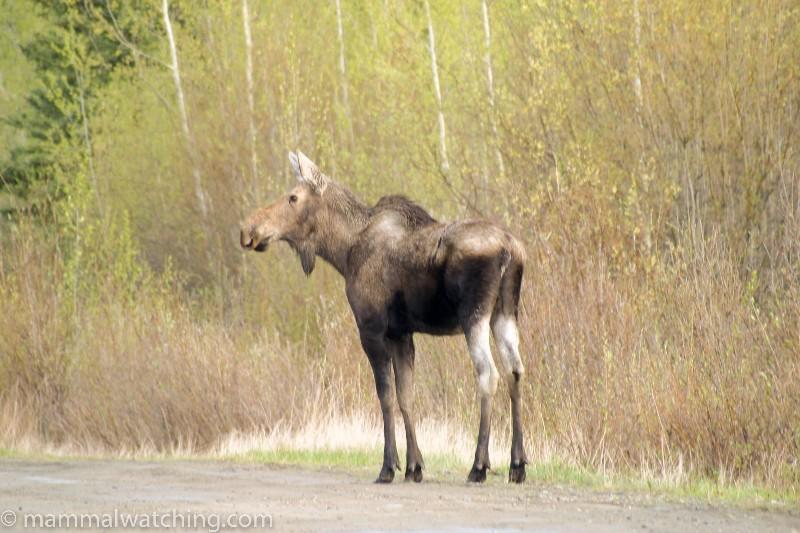 2006-Faro-Moose