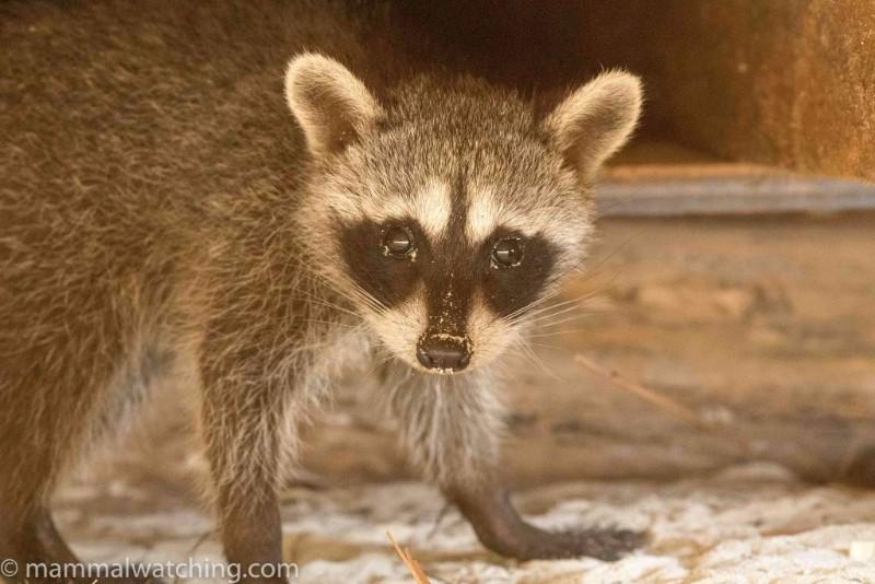 2015-Cozumel-Dwarf-Raccoon-1