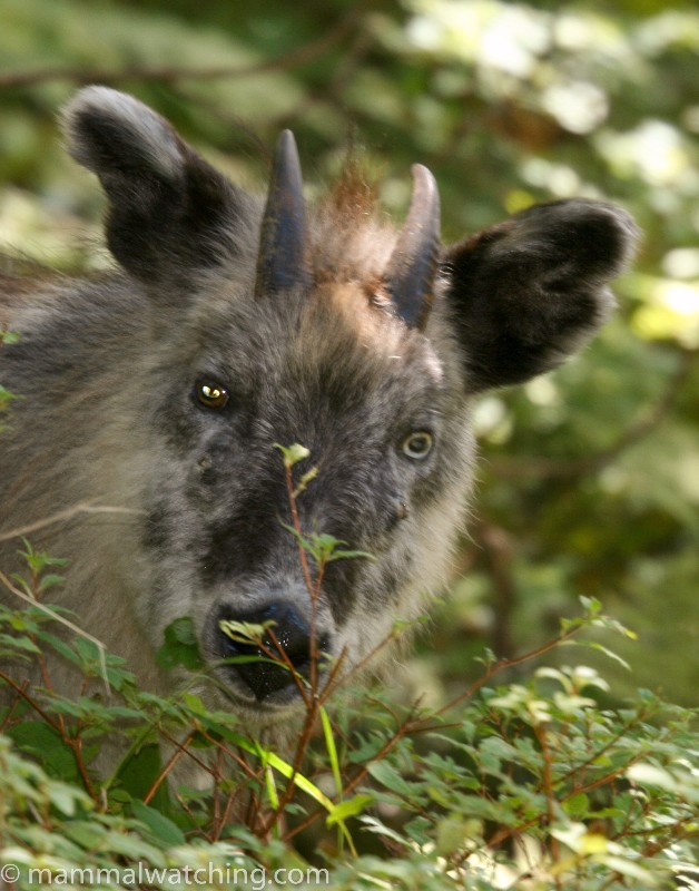 Japanese-Serow