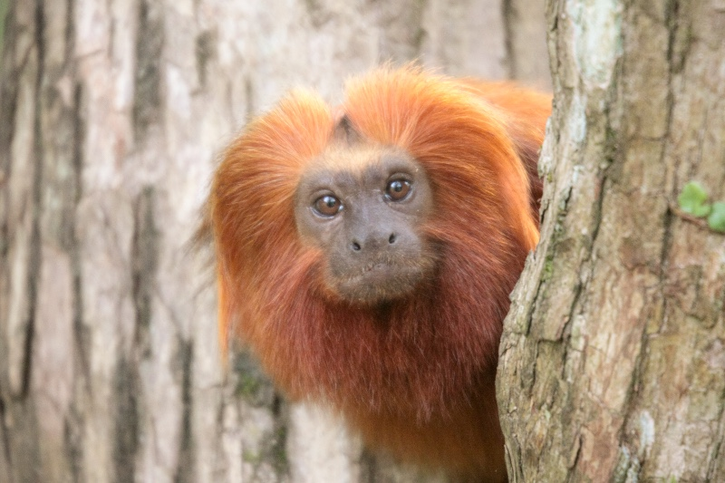 2009-Golden-Lion-Tamarin-1
