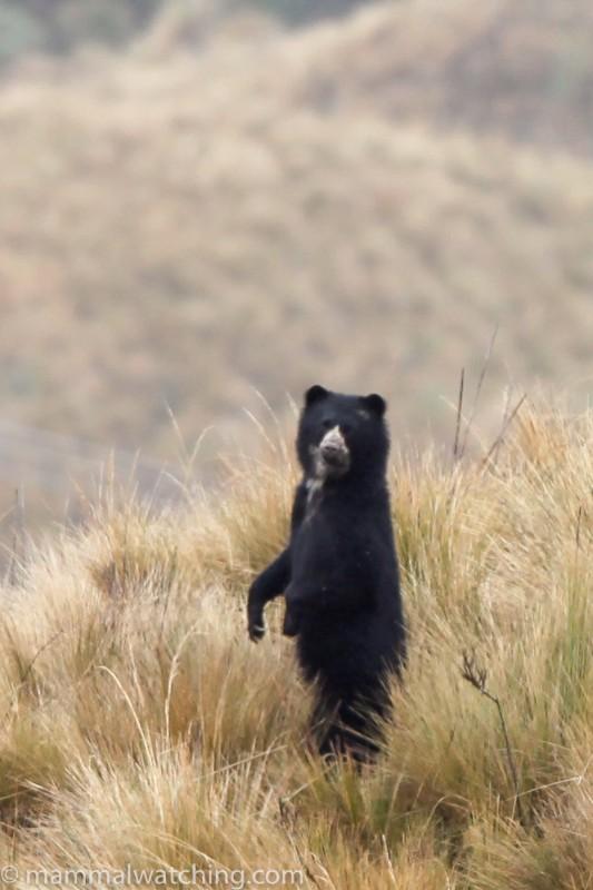 2012-Specatcled-Bear-2