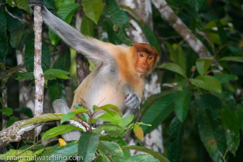 2008-Proboscis-Monkey-2