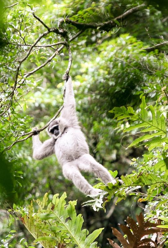 2010-Javan-Gibbon
