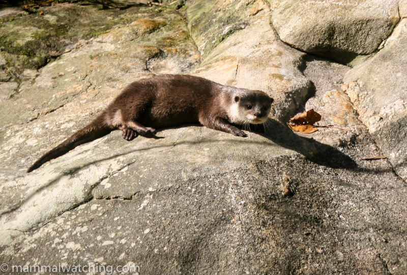 2008-Small-clawed-Otters