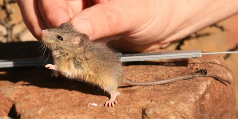 Attention South African Rodent Experts: Mystery Mouse from South Africa