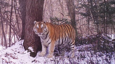 Siberian Tiger Tracking Tour to Russia – Royle Safaris (6)