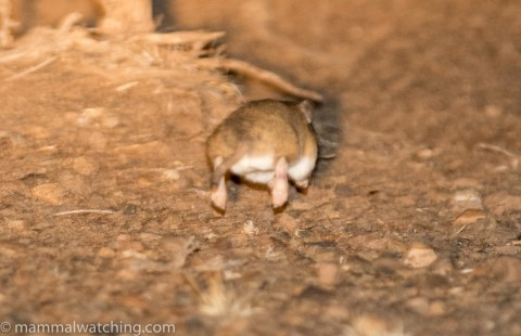 Rodent ID from South Africa – help please