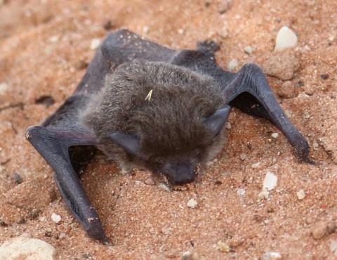 Kgalagadi Bat ID Needed