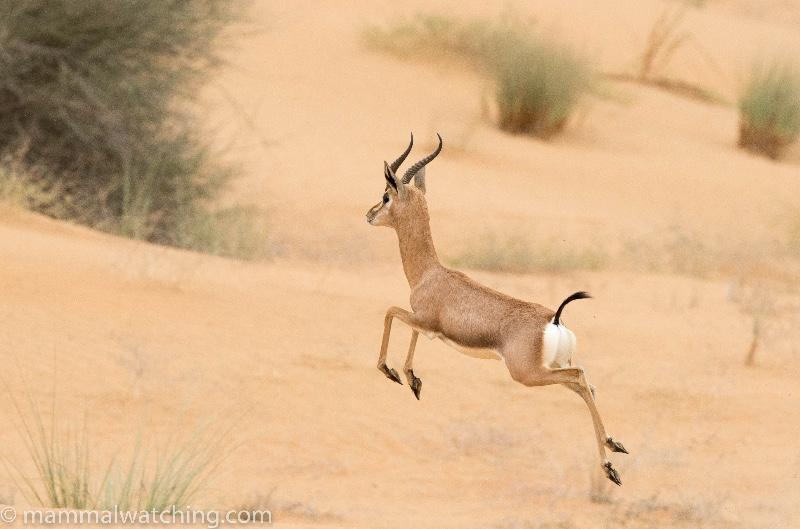 2017-Arabian-Mountain-Gazelle-Gazella-gazella-cora-5