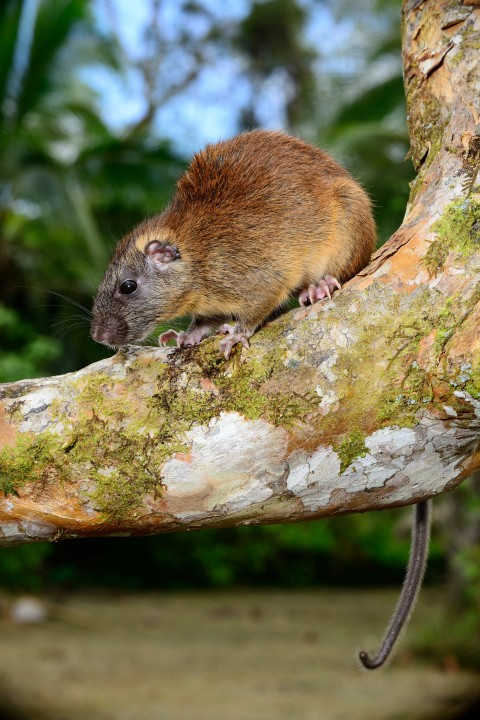 Great Rat Catches of the World: Part 1