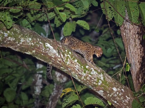 Trip Report -Bornean Mammal Tour – Feb-March 2017