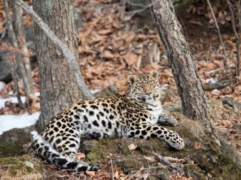 Amur leopard tour
