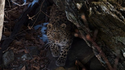 Amur leopard new dates and prices
