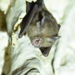 leasthorseshoebatRhinolophuspusillus-Copy