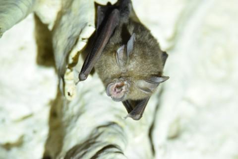 What bat spp ? Khao Yai, Thailand
