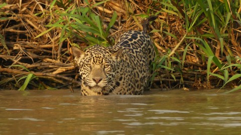 Pantanal Wildlife Watching Tour Trip Report from Royle Safaris
