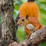 Red-tailed-squirrel-2