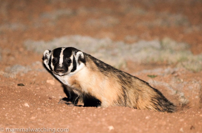 2010-American-Badger
