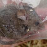 Mouse_A