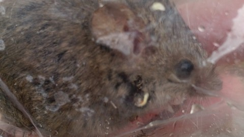 ID question (House Mouse or E. Harvest Mouse)