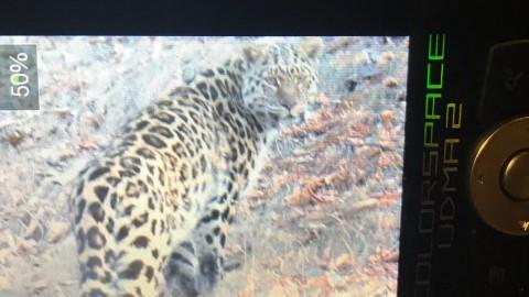 Amur Leopard 2018-19 Tour Dates