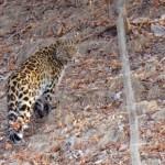 AmurLeopard-Russia