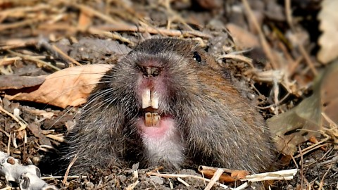 Update on Southern California Botta's Pocket Gopher Sites