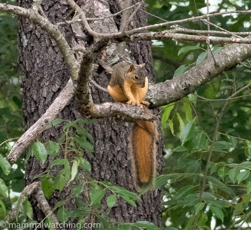 2018-Eastern-Fox-Squirrel